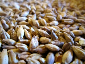 Malted barley grains