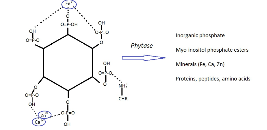 The structure of phytic acid, and the nutrients released after its degradation by phytase (adapted from Gobetti et al, Food Microiology 37(2014) 30-40)
