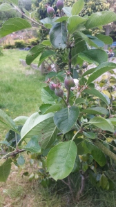 To me nothing signifies summer so much as our little apple buds beginning to swell.